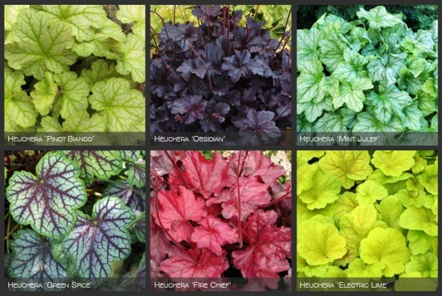 The six plant cultivars used throughout the design